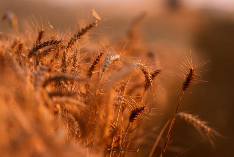 Экспортные цены на пшеницу РФ продолжают рост вслед за мировыми