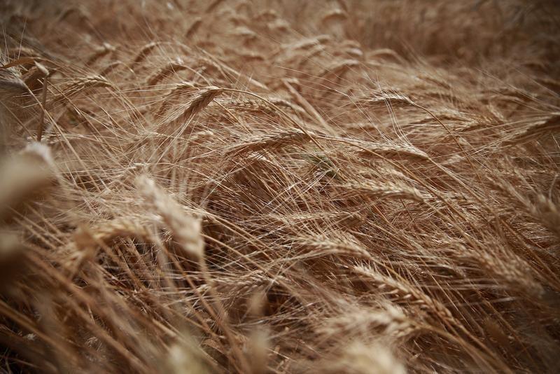 Экспортные цены на пшеницу РФ растут 13 недель подряд