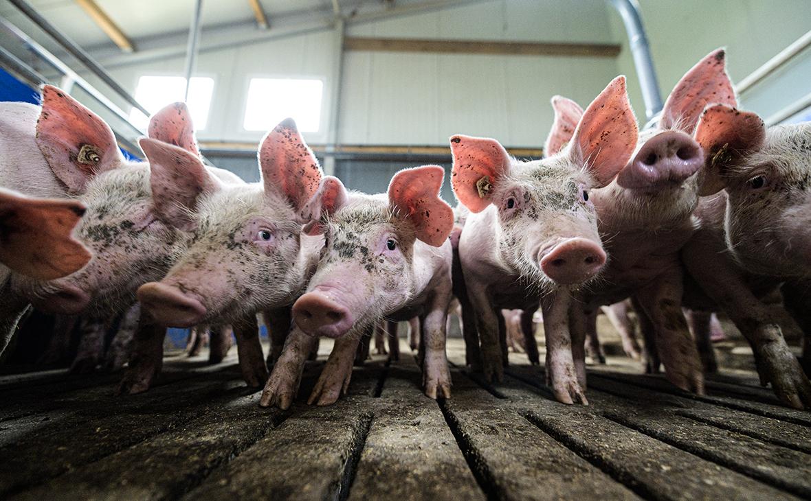 Из-за аномальной жары летом свиньи не добрали в весе